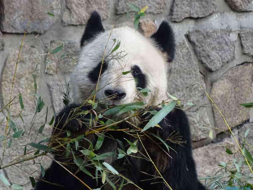 北京动物园里的大熊猫